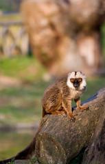 Lemur de cara blanca