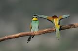 Bee-eater (Merops apiaster), marriage between, Israel poster