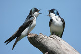 Pair of Tree Swallows on a stump poster
