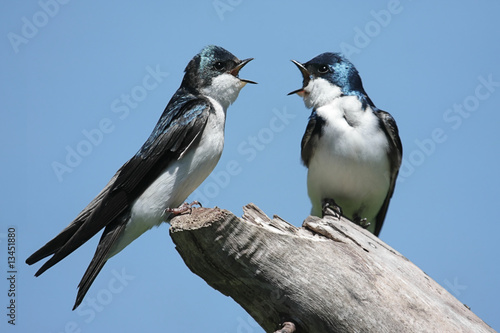 Pair of Tree Swallows on a stump - 13451880