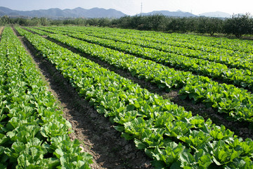 Green leaf Vegetable fields