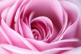 Fototapety pink rose