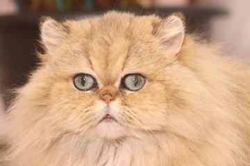 portrait de persan golden shaded de gros plan,yeux verts