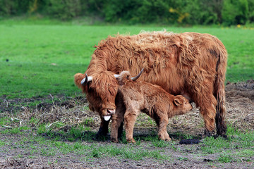 Highland Cow with Calf Feeding