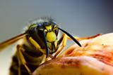 Fototapeta żółty - trujący - Insekt