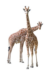 Giraffe young couple