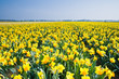 Field with yellow daffodils in april - 13468873