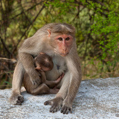 Macaque Mother Protecting Her Baby in Mudumalai National Park