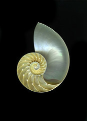 Chambered  Nautilus shell against a dramatic black background