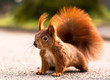 Red squirrel - Eichhörnchen