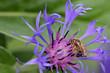 Biene bei der Arbeit- Kornblume