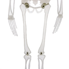 detail of the middle part of skeleton isolated on white