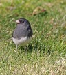 Dark Eyed Junco (Junco Hyemalis)