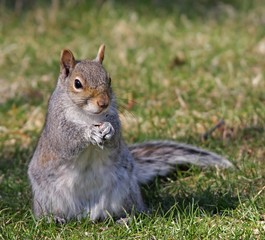 Squirrel eating a nut, close up photo