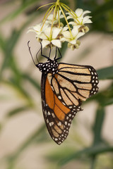 Monarch Butterfly stages 04