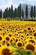 Leinwanddruck Bild - Sonnenblumenfeld in der Toskana