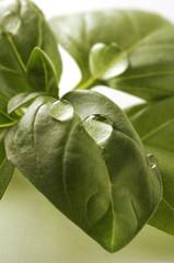 Basilico - Ocimum basilicum