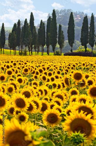 Leinwanddruck Bild Sonnenblumenfeld in der Toskana