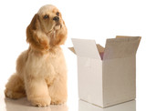 moving or shipping concept - cocker spaniel beside box poster