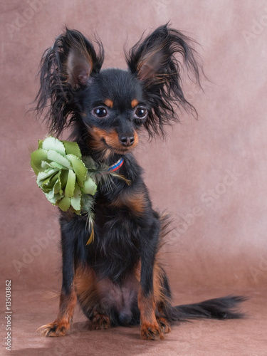 Moscow a long-haired  toy terrier