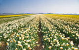 Daffodil fields in yellow, orange and white