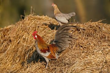 Hahn und Henne vor Misthaufen
