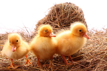 yellow fluffy ducklings on the hay