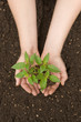 hands holding small plant over soil