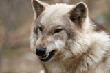Fototapeta zagrażających - agresywne - Dziki Ssak