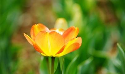 Orange bloom tulip