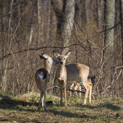 necking deer
