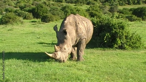 white rhino grazing