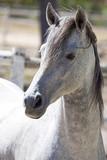 Arabian stallion poster