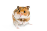 hamster with one cheek full poster