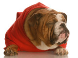 bulldog in red sweater with ugly face and funny expression poster