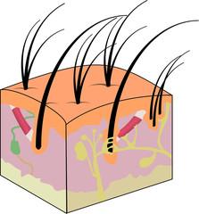 Esquema de piel
