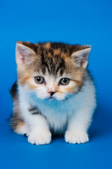 British kitten on blue background
