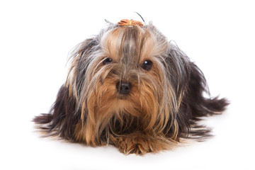 Yorkshire terrier on white background