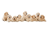 Fototapety Golden Retriever Puppies isolated on a white background