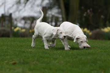 deux jeunes dogues argentins jouant dans le jardin en automne