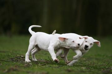 la course entre deux jeune sdogue argentins dans le jardin
