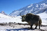 yak in snowy himalayas poster
