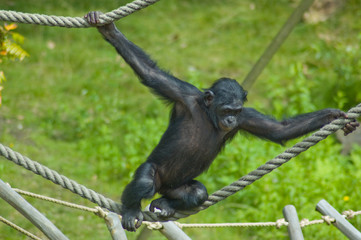 Swinging ape