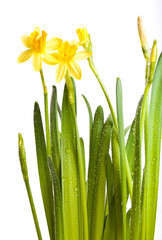 Yellow daffodils with water drops isolated on white