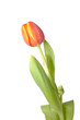 Leinwanddruck Bild tulpe