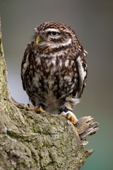 Little Owl on perch