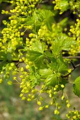 Ahornblüte - flowering of maple tree 05