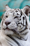 Panthera tigris (var. Alba), Bengal tiger poster