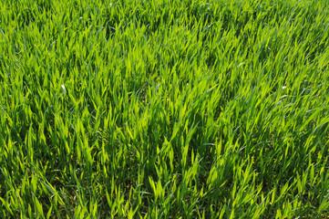 jeune blé