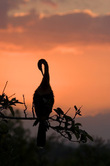 Anhinga at Sunrise